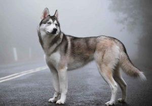 Cách chăm sóc chó Husky tại nhà bạn cần biết